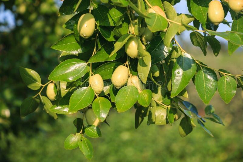 Árvore verde do jujuba fotos de stock royalty free