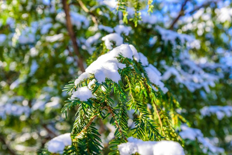Árvore verde do ramo do pinho coberta com a neve e o gelo - árvore sempre-verde do abeto vermelho do Natal - fundo do inverno imagem de stock royalty free