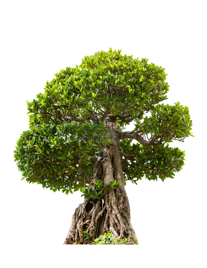 Árvore verde dos bonsais do banyan, isolada no fundo branco foto de stock royalty free