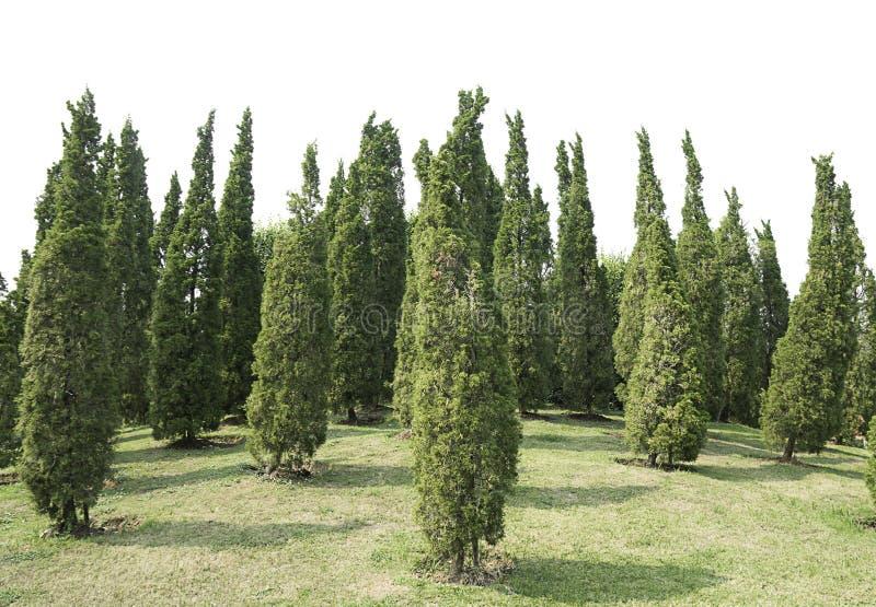 Árvore verde e prado de muitas plantas decorativas do pinho isolados no fundo branco do arquivo com trajeto de grampeamento imagem de stock
