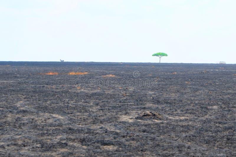 Árvore verde em um campo queimado foto de stock