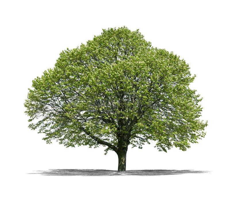 Árvore verde em um fundo branco fotos de stock