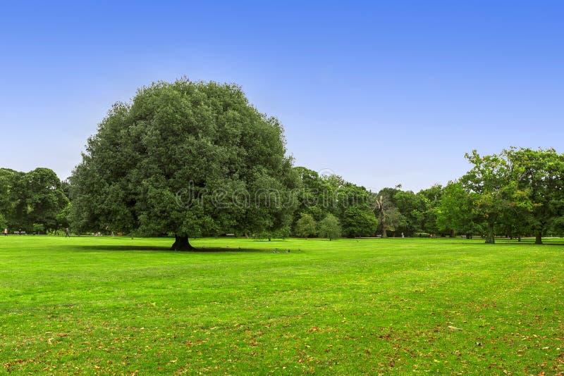 Árvore verde grande fotografia de stock