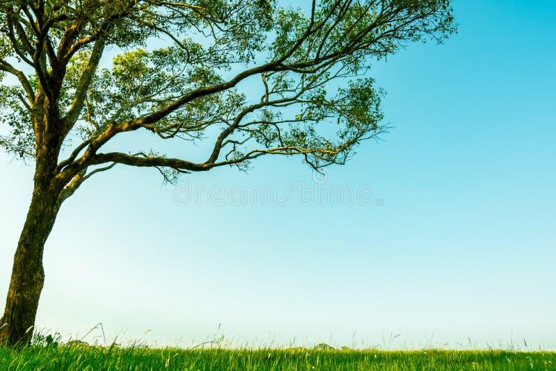 Árvore verde grande com teste padrão bonito dos ramos e campo de grama verde com as flores brancas no fundo claro do céu azul foto de stock