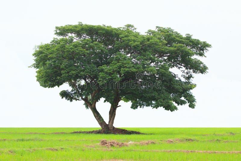 Árvore verde isolada no fundo branco, árvore decíduo verde fresca bonita isolada no fundo branco puro imagem de stock