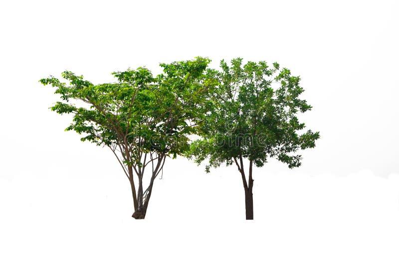 Árvore verde isolada, planta verde-folhas cortada sobre fundo branco com caminho de recorte imagens de stock royalty free