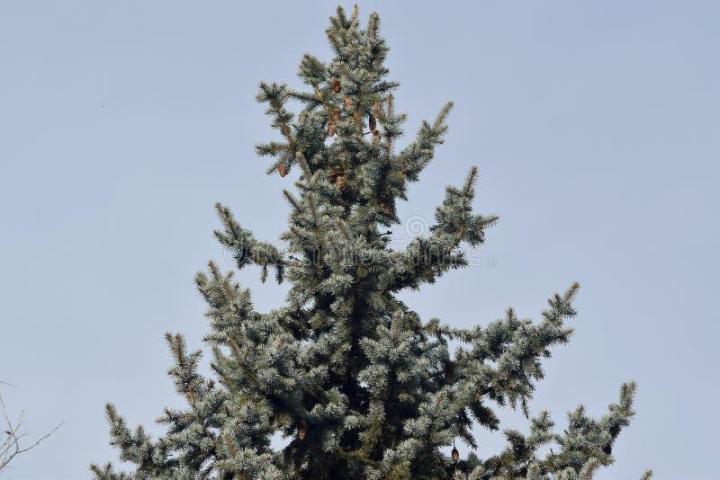 Árvore verde macia com os cones na parte superior foto de stock