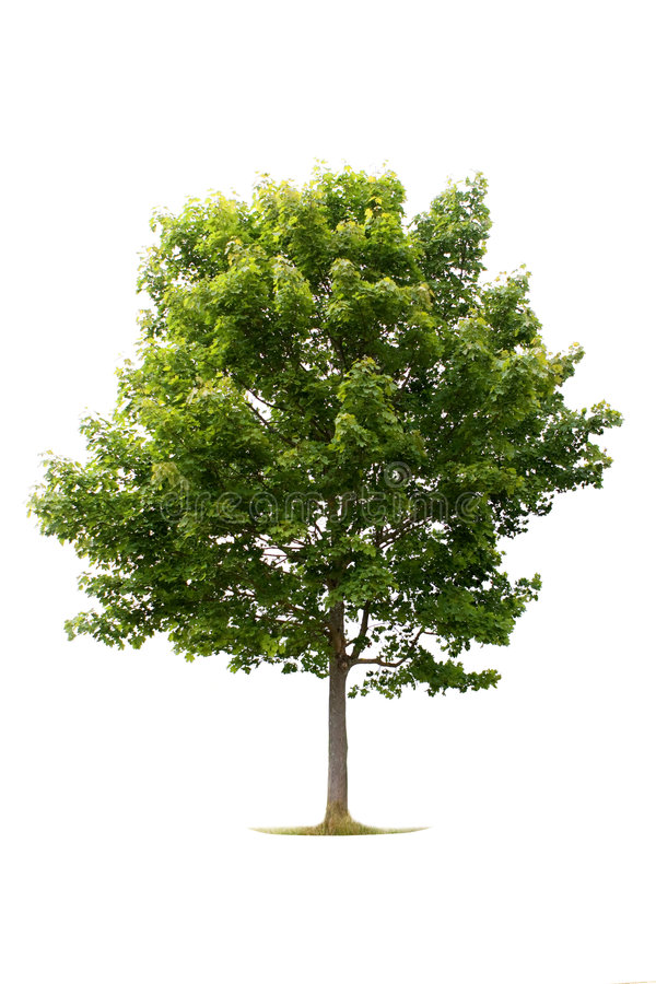 Árvore verde no branco fotografia de stock royalty free
