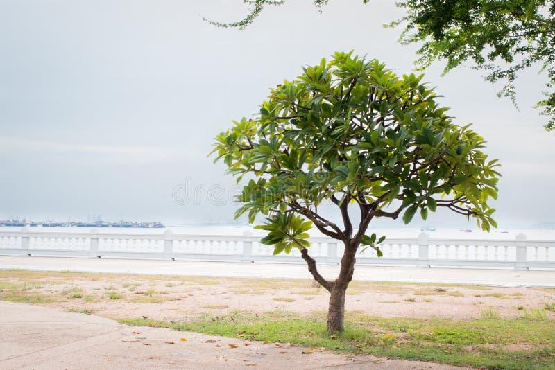 Árvore verde só do frangipani, árvore do plumeria perto da praia fotografia de stock royalty free
