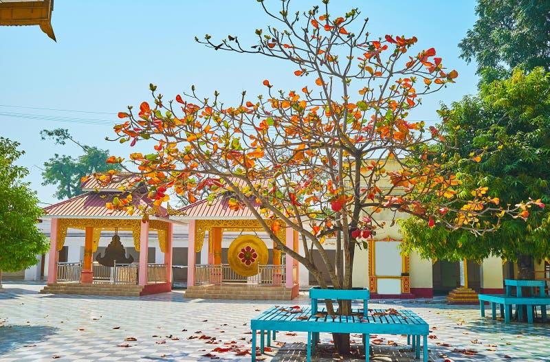 A árvore vermelha da folha no complexo do pagode de Kaunghmudaw, Sagaing, Myanma imagem de stock royalty free