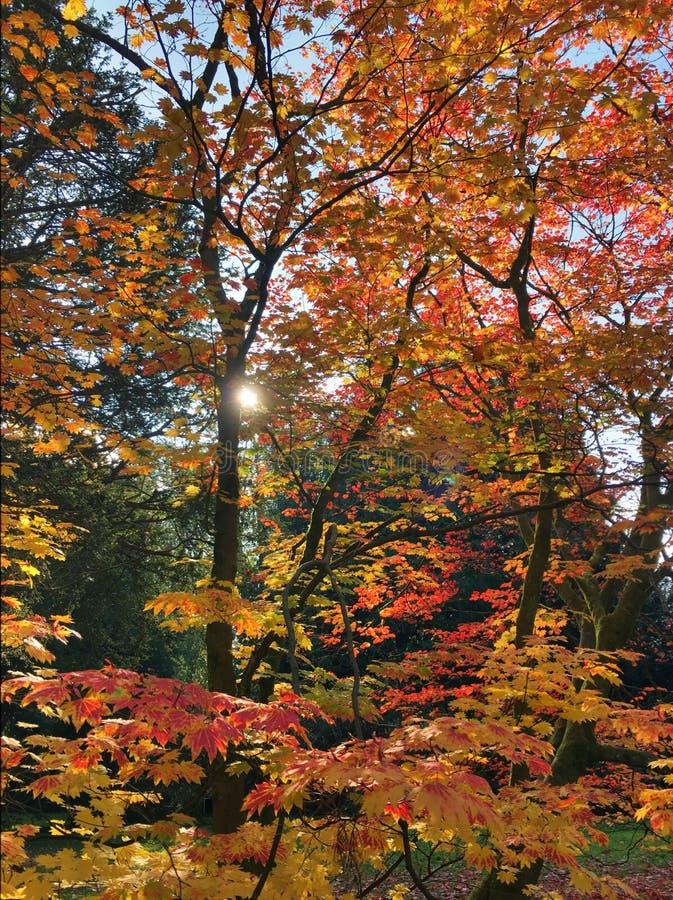 Árvore vermelha e alaranjada fotografia de stock