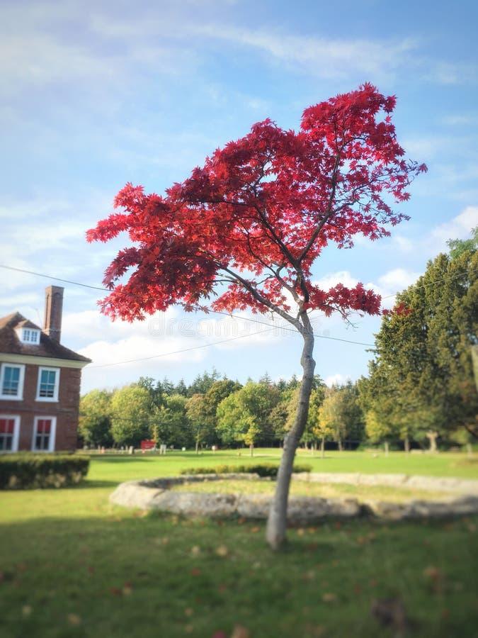 Árvore vermelha e cor-de-rosa imagens de stock royalty free