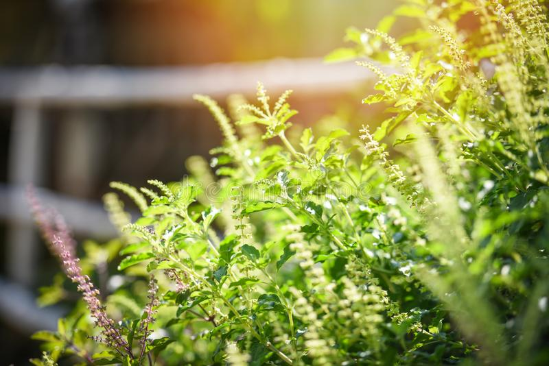 Árvore vermelha folha da manjericão/manjericão santamente de Ásia e fundo do jardim vegetal da natureza da flor - santuário do Oc imagens de stock