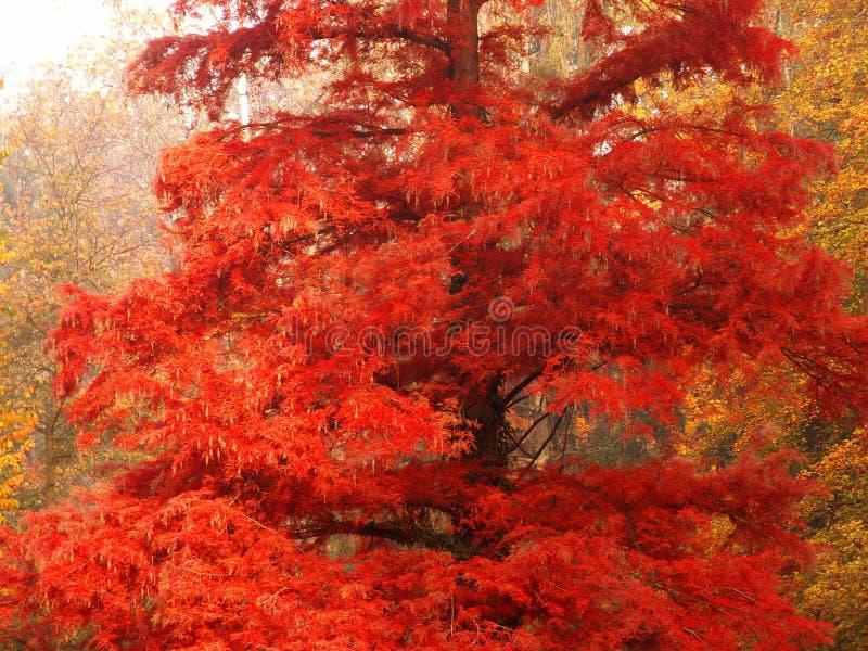 Árvore vermelha no outono fotos de stock royalty free