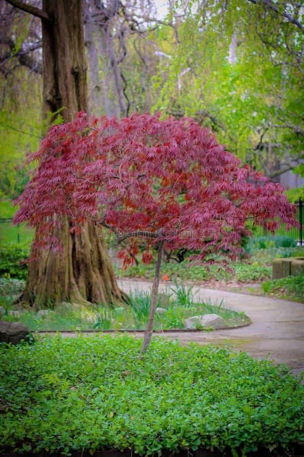 Árvore vermelha o parque fotografia de stock