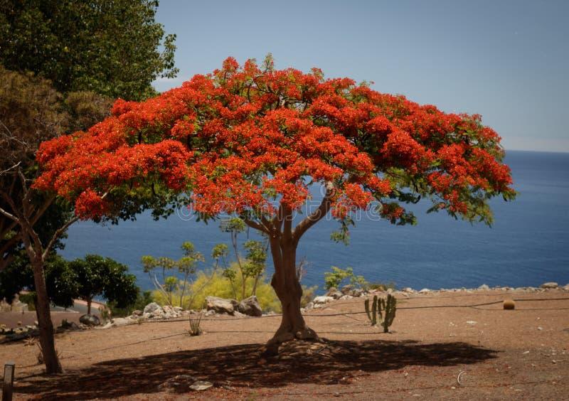 Árvore vibrante do sangue de dragão imagens de stock