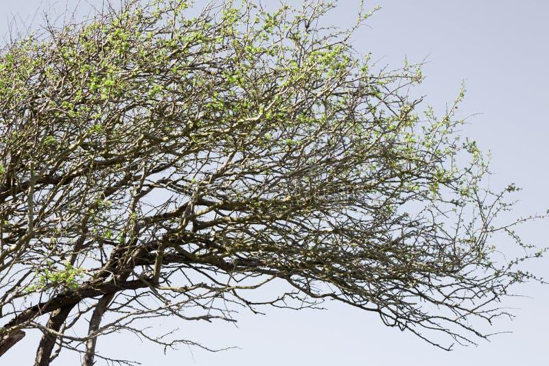 Árvore Windblown imagens de stock