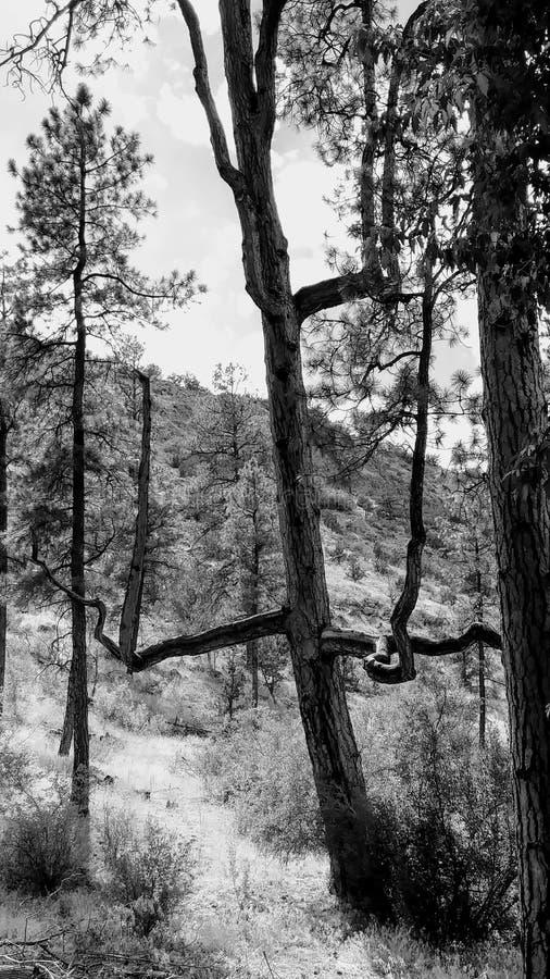 Árvore Wonky foto de stock royalty free