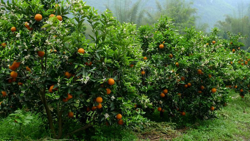 Árvores alaranjadas fotografia de stock