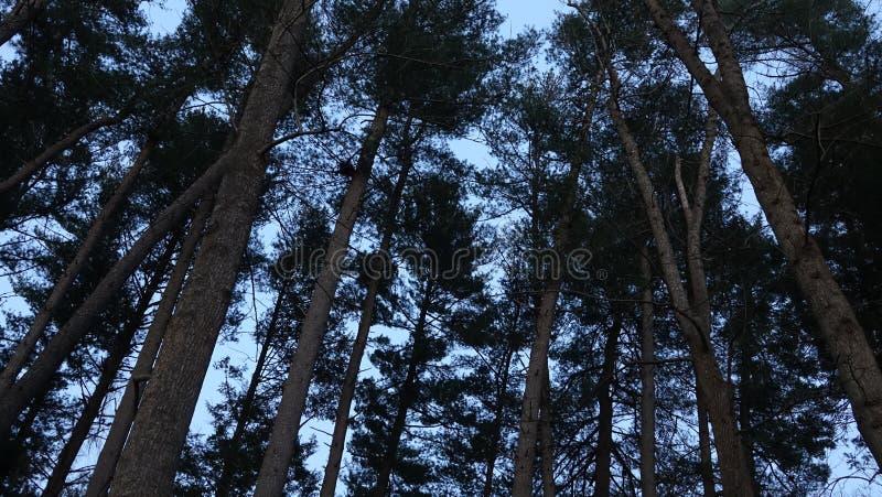 Árvores altas na floresta imagens de stock