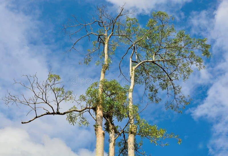 Árvores altas superiores fotografia de stock royalty free