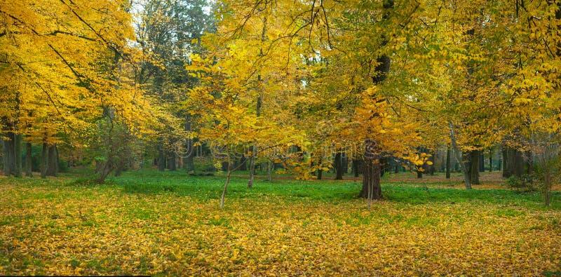 Árvores amarelas bonitas em um parque do outono Cenário impressionante do parque no dia morno do outono fotos de stock