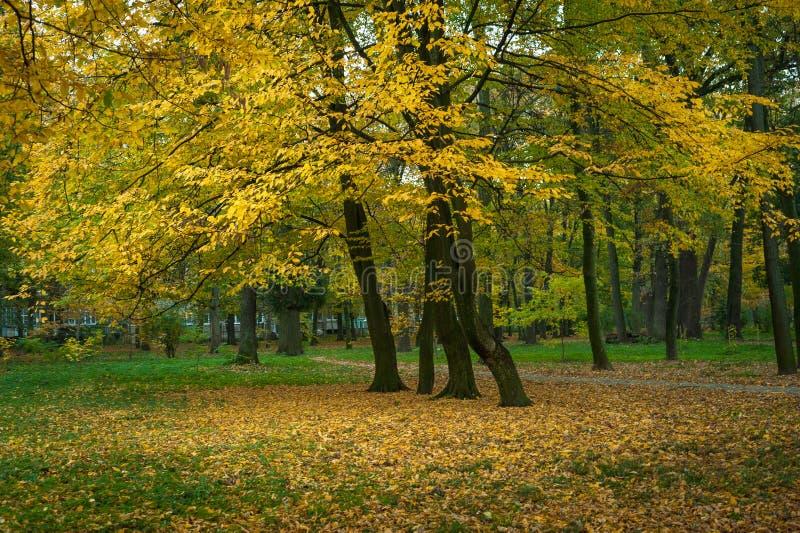 Árvores amarelas bonitas em um parque do outono Cenário impressionante do parque no dia morno do outono fotografia de stock