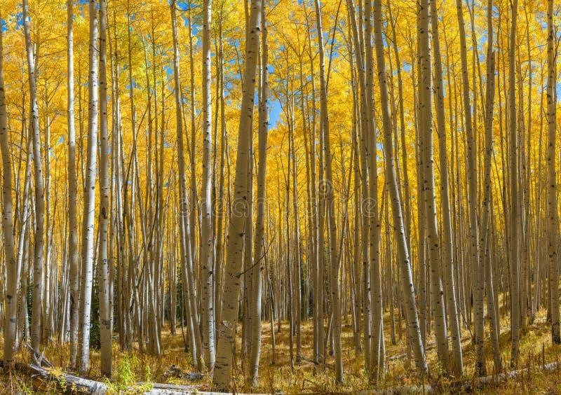 Árvores amarelas de Aspen foto de stock