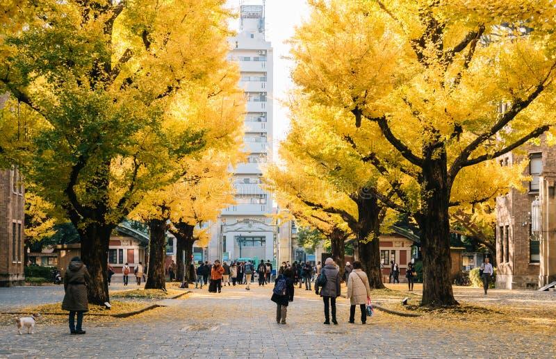 Árvores amarelas no auditório de Yasuda, a universidade da nogueira-do-Japão do Tóquio, Japão fotografia de stock royalty free