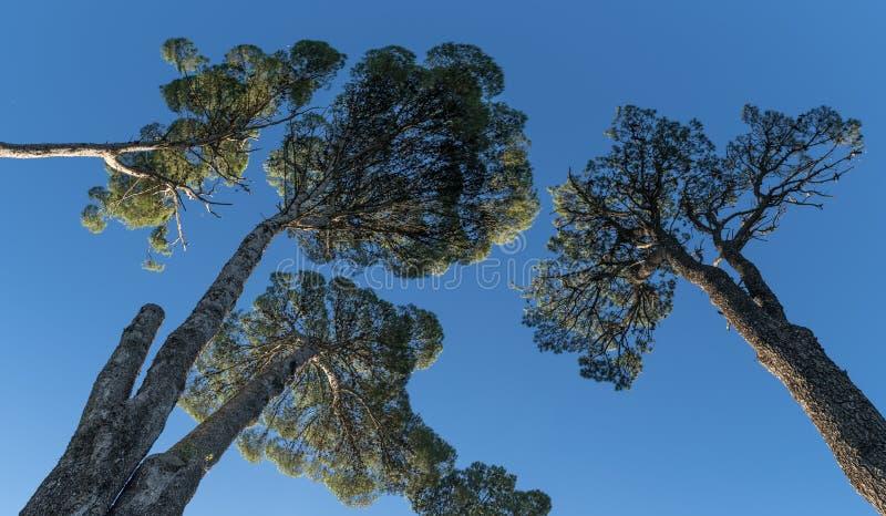 Árvores antigas da araucária fotografia de stock royalty free