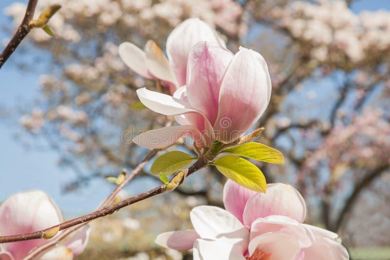 Árvores bonitas da magnólia na flor completa com as flores cor-de-rosa e brancas, fundo do parque da primavera imagem de stock