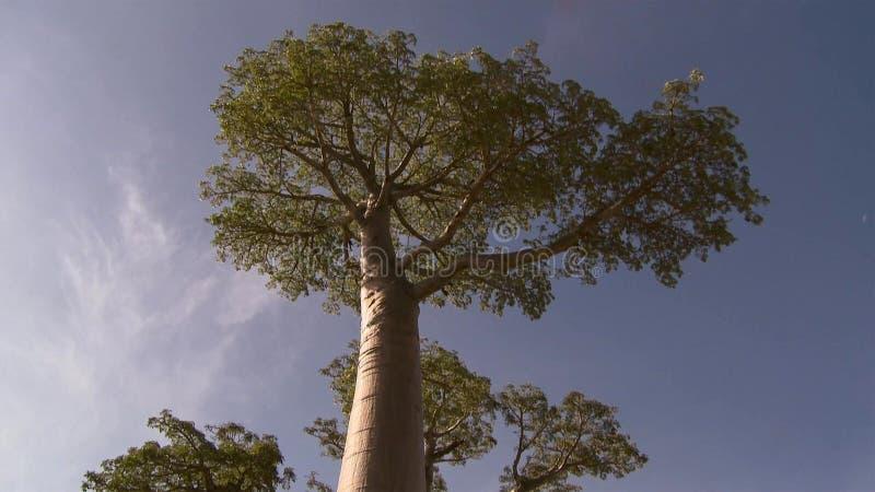 Árvores bonitas do Baobab na avenida dos baobabs em Madagáscar imagens de stock royalty free