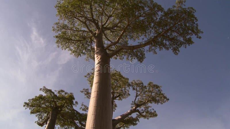 Árvores bonitas do Baobab na avenida dos baobabs em Madagáscar foto de stock royalty free