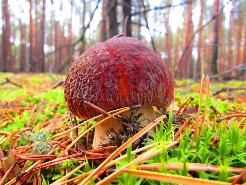 árvores brancas do outono da floresta do cogumelo imagens de stock