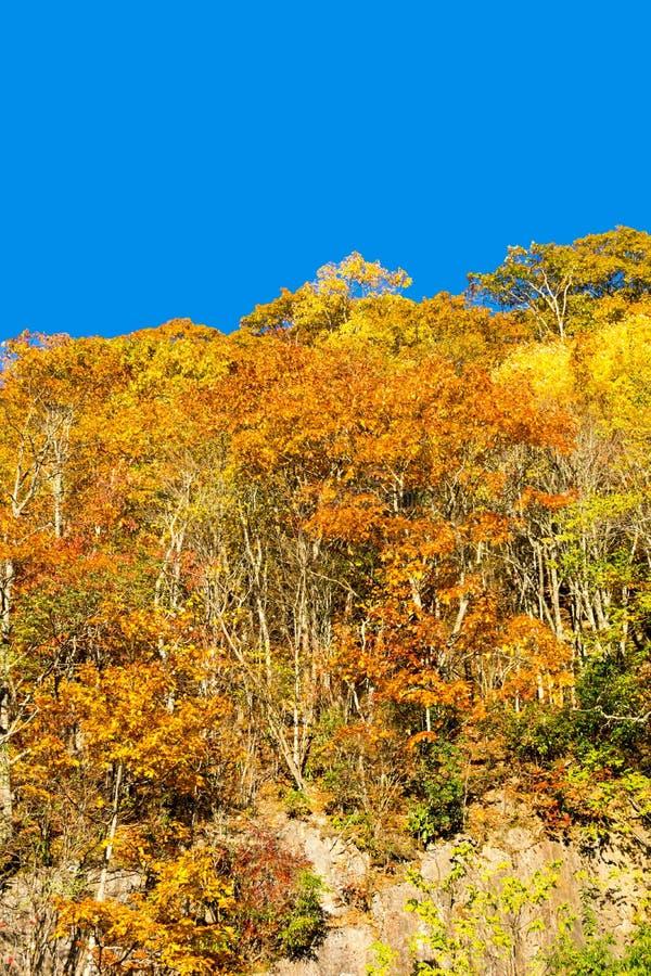 Árvores brilhantes da queda em um montanhês III da montanha fotos de stock royalty free