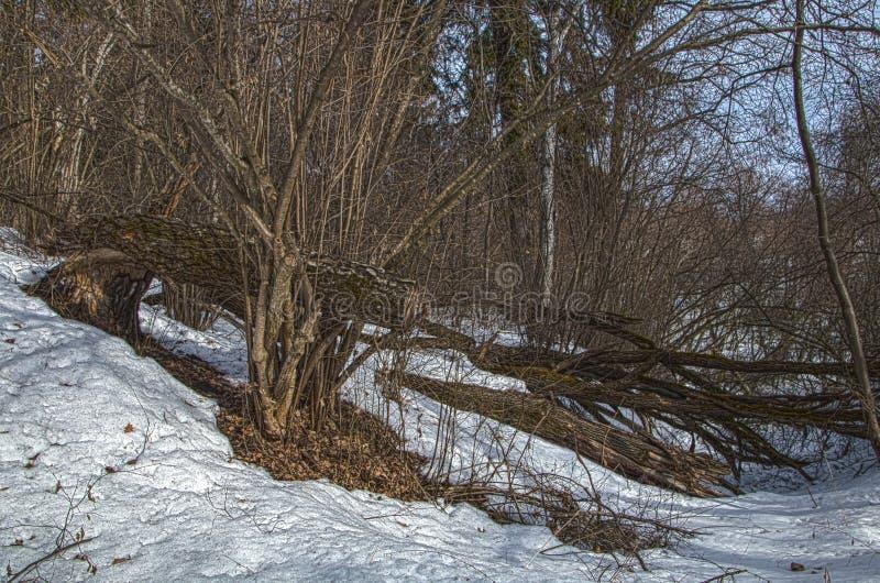 Árvores caídas na região de Kaluga da floresta do inverno foto de stock