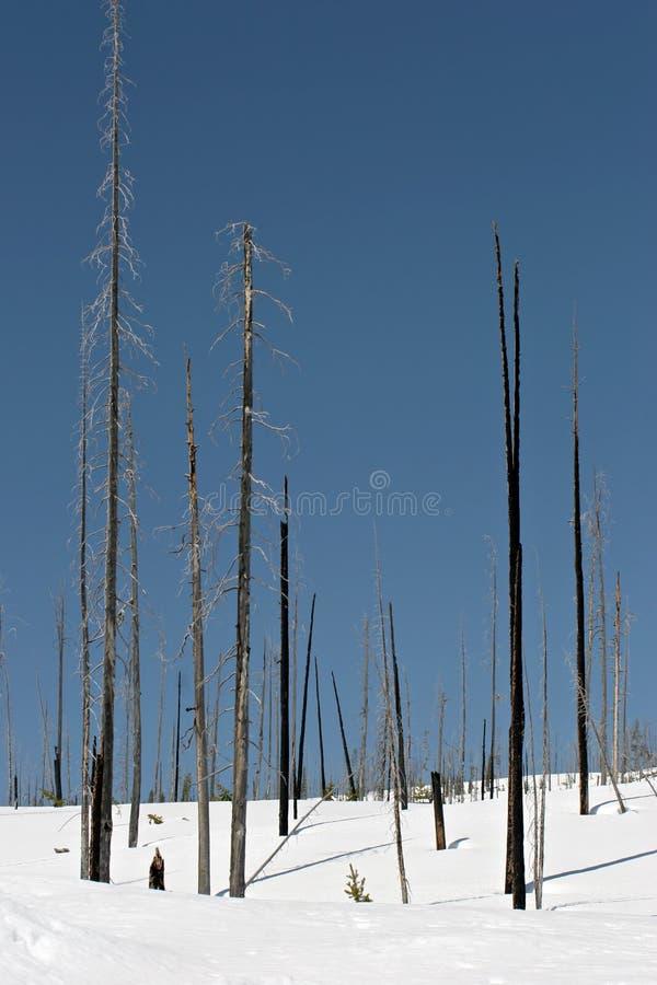 Árvores carbonizadas na neve fotos de stock