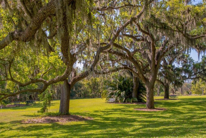 Árvores cobertas com o musgo espanhol imagem de stock royalty free