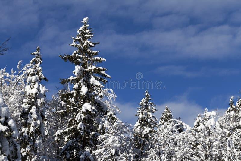 Árvores cobertos de neve contra o céu azul fotografia de stock