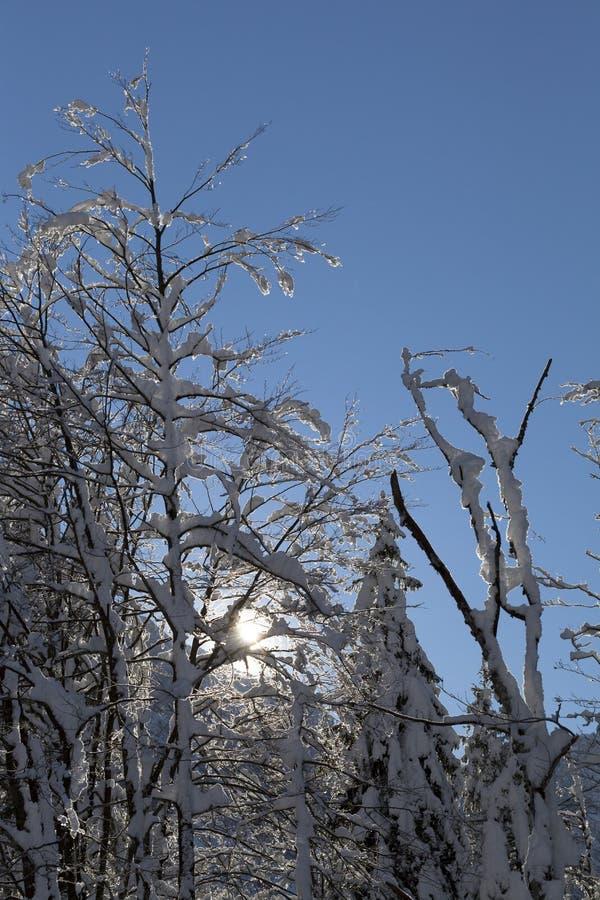 Árvores cobertos de neve contra o céu azul imagens de stock