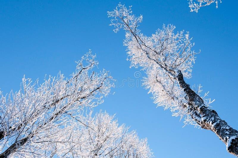 Árvores cobertos de neve na geada contra o céu azul claro imagem de stock