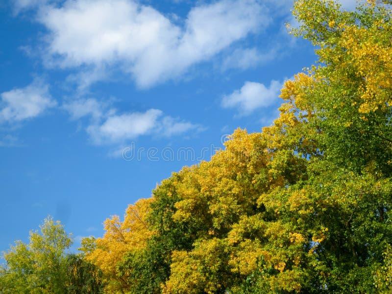 Árvores com folha amarela contra o céu azul fotos de stock
