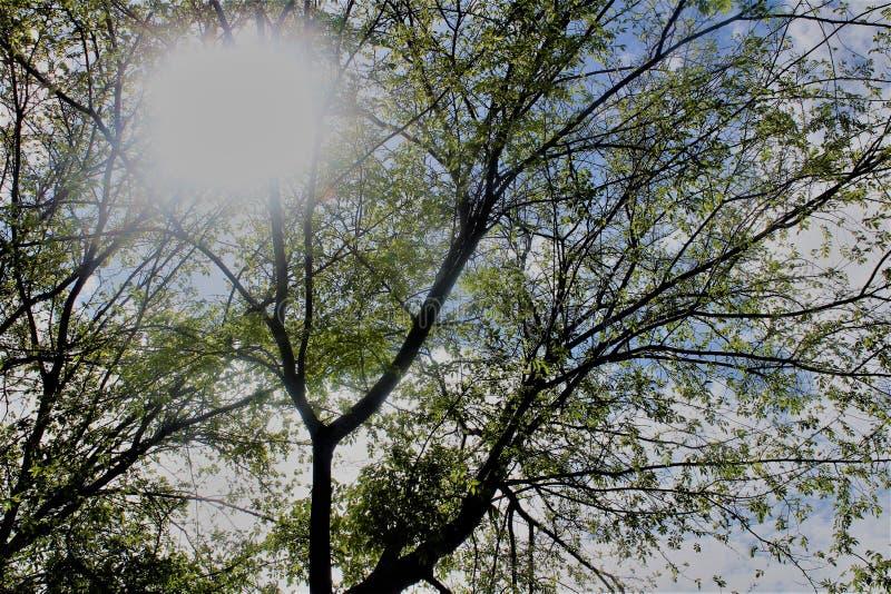 Árvores com folhas verdes, sol que brilha completamente fotografia de stock royalty free