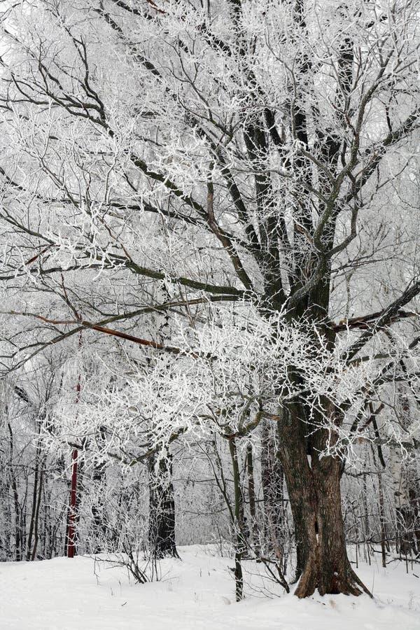 Árvores com neve no parque de inverno fotografia de stock
