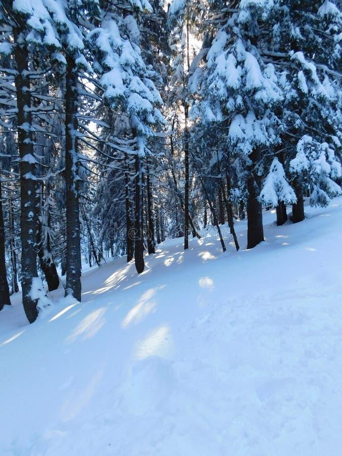 Árvores coníferas no parque nacional de Karkonoski imagem de stock royalty free