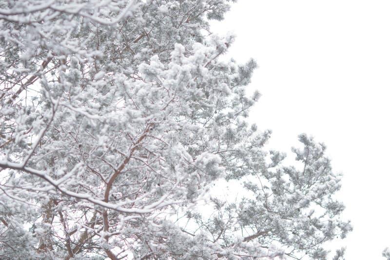 Árvores congeladas fotos de stock royalty free