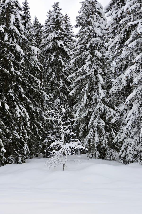 Árvores congeladas em um dia de inverno nevado fotografia de stock royalty free