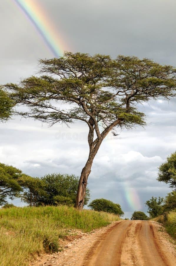 Árvores da acácia com arco-íris fotos de stock