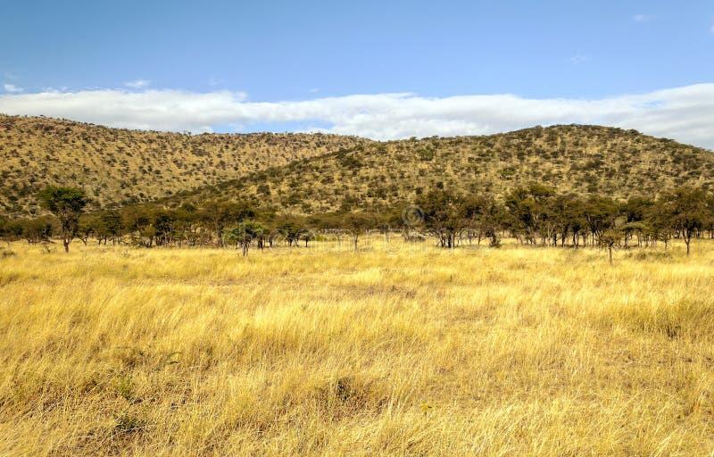 Árvores da acácia em Tanzânia foto de stock