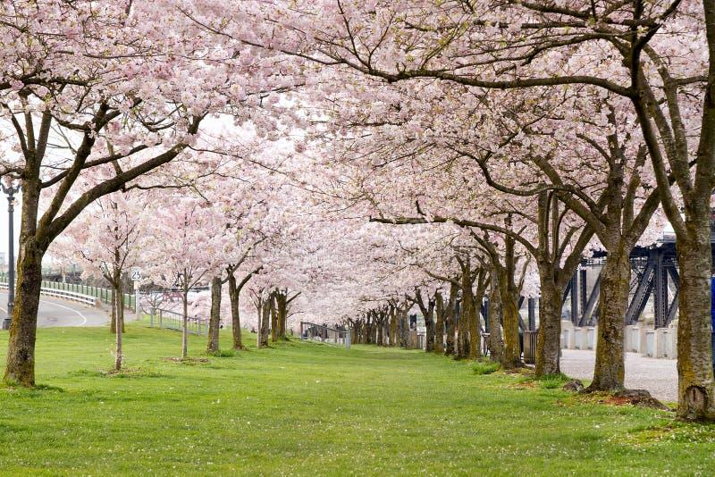 Árvores da flor de cereja no parque do beira-rio imagens de stock royalty free